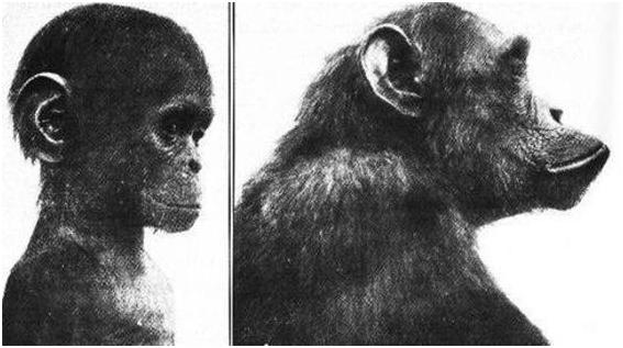 De gauche à droite : chimpanzé enfant et adulte.
