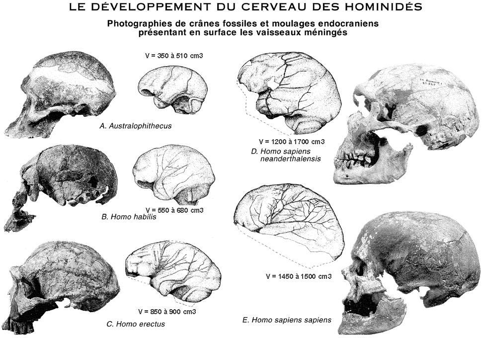 Évolution du crâne : rétractation de la taille des dents et des mâchoires, développement du front et du menton, réduction du crâne facial associée à une augmentation du volume cérébral.